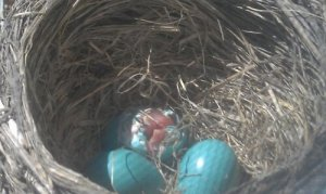 We got to observe this baby robin cracking out of its egg.