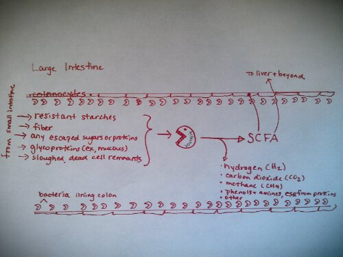 Drawing of colon and SCFA