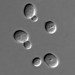 Sorting Out Brewer's Yeast and Nutritional Yeast. 2 Replies · 256px-S_cerevisiae_under_DIC_microscopy