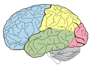 512px-Lobes_of_the_brain_NL.svg